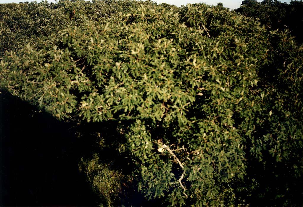 vineyard-oaks