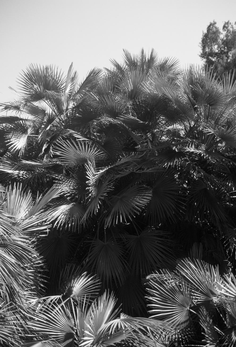 roman palms